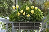 Korbkasten mit Tulipa (Tulpen), Schnittlauch (Allium schoenoprasum)