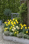 Trapeze bed with akebia, Narcissus 'Yellow River' 'Tahiti'