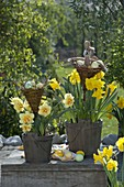 Narcissus 'Tahiti', 'Yellow River' in wooden buckets, wicker baskets
