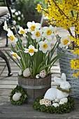Narcissus 'Flower Record' (daffodil) in wooden bucket