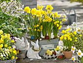 Narcissus 'Yellow River' 'Tete a Tete' 'Golden Bells'