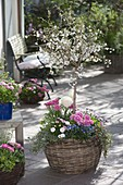 Ornamental cherry with spring flowers in basket plant