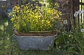 Tin pan with Ranunculus acris, Sorrel