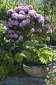 Rhododendron catawbiense 'Grandiflorum' (Alpenrose)