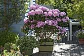 Rhododendron catawbiense 'Grandiflorum' (Alpenrose) und Hosta 'Francee'