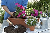 Woman planting box with Petunia Bingo 'Perfectunia Neon Pink'