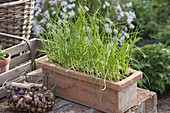 Planting leeks in flower bed