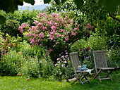 Seating place in the shade under apple tree, pink 'American Pillar'