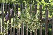 Kamille (Matricaria chamomilla) als Strauß zum trocknen an Zaun hängen