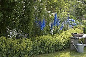 Blue and white perennial border with Delphinium (larkspur), Campanula