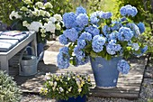 Hydrangea 'Endless Summer' in blue tub on terrace