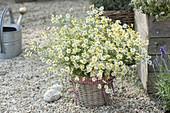 Basket vase with Matricaria chamomilla (chamomile) bouquet