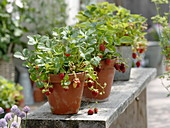 Strawberries 'Mara de Bois' (Fragaria) planted in clay pots