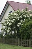 Flowering Sambucus nigra (elderberry) behind garden fence