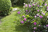 View of Rosa (Rose), Buxus (Box)
