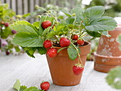 Strawberry (Fragaria) in clay pot