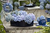 Hydrangea 'Endless Summer' (Hydrangea) flowers