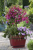 Fuchsia 'Tyrol', Impatiens shimmer form 'Mix'