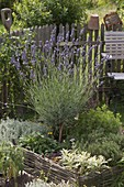Lavender (Lavandula) stem in herb bed with willow border