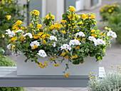 Yellow and white balcony box with Lantana 'Ultra Yellow'