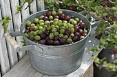 Zinc cup with freshly picked red and green gooseberries