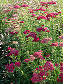 Achillea millefolium 'Cherry Queen' (red yarrow)