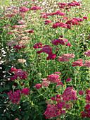 Achillea millefolium 'Kirschkönigin' (Rote Schafgarbe)