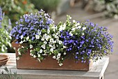 Blue and white planted box with Bacopa 'White Wedding'