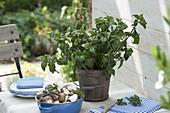 Pilzkraut (Rungia clossii) wird frisch in Salaten oder auch in Suppen
