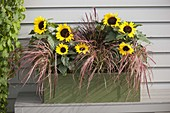 Green wooden box with Helianthus annuus and Pennisetum