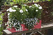 Red wooden box planted white