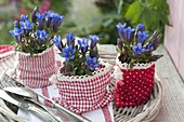 Gentiana (autumn gentian) in red and white cloth bag