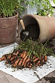 Harvesting carrots (black carrot) from a terracotta pot