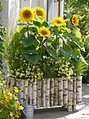 Box of birch stems planted with Helianthus 'Summer Breeze'