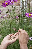 Harvesting Cosmos seeds (garden cosmos)