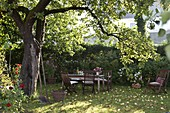 Seating area under old apple tree, windfall fruit and foliage on the lawn