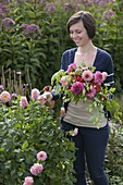 Young woman cutting Dahlia blossoms for late summer bouquet