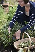 Junge Frau erntet Salbei (Salvia officinalis)
