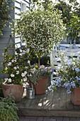 Solanum rantonnetii 'Alba' syn. Lycianthes (Weißer Enzianbaum)