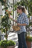 Woman picking apples from Malus Starline 'Firedance' (column apple)