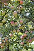 Apple 'Goldparmäne', old apple variety