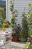 Snack terrasse with apple 'Starline Firedance' planted with chili