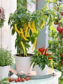 Paprika 'Pinokkio F1' and ornamental paprika (Capsicum), thyme