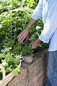 Woman picking lemon balm (Melissa) in the raised bed