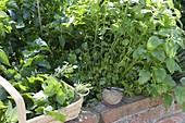 Harvesting lemon balm in the raised bed