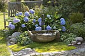 Shadow bed with Fountain Hydrangea 'Endless Summer'
