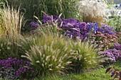 Autumn bed with grasses, Pennisetum compressum 'Hameln'