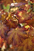 Colorful autumn leaves of Acer platanoides (Norway maple)