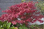 Viburnum plicatum f. tomentosum in autumn coloring