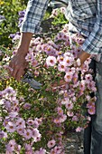 Woman cutting Aster (white wood aster)